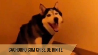 Cachorro Com Crise De Rinite, O Final Ficou Engraçado Hahaha!