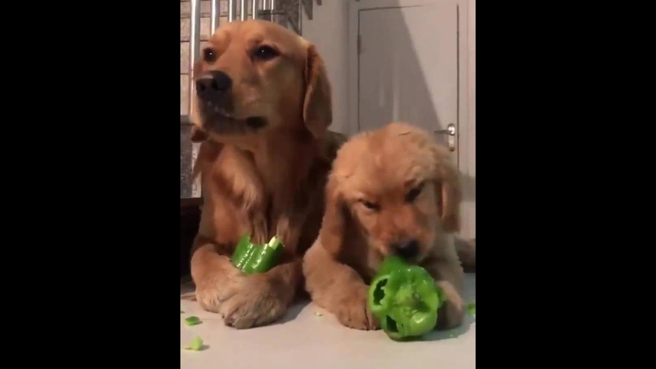 Cachorro com filhote comendo pimentão, olha só que fofura!!!