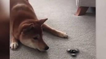 Cachorro Com Medo Do Spinner, Muito Engraçado, Confira, Hahaha!