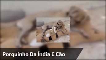 Cachorro Com Porquinho Da Índia, Olha Só Como Ele Gosta De Seu Amiguinho!