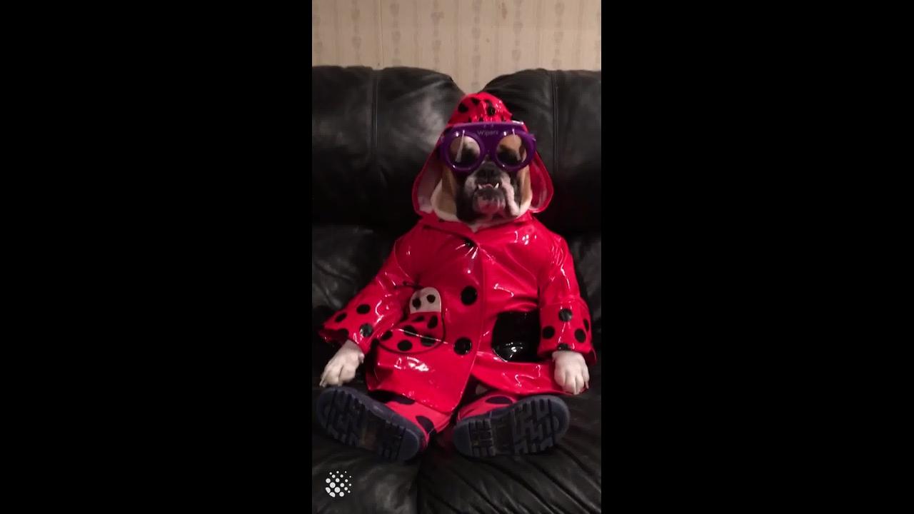 Cachorro com roupa própria para sair na chuva