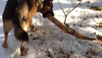 Cachorro Correndo Com Madeira Na Boca, Veja O Que Acontece!