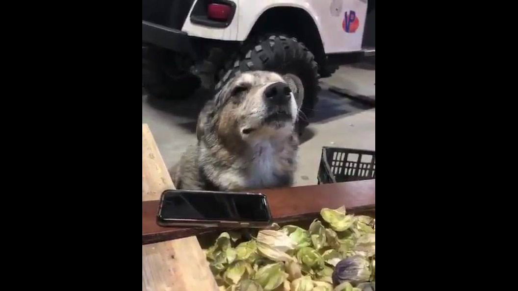 Cachorro curtindo sua musica favorita