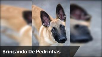 Cachorro Da Raça Belga Malinois Pega A Pedrinha Certa Na Brincadeira, Confira!