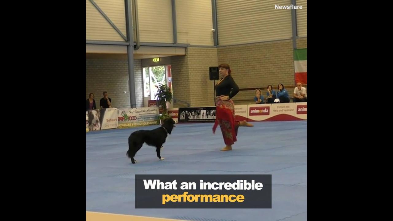 Cachorro da raça Border Colie fazendo linda apresentação de dança com mulher