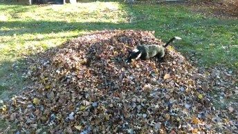 Cachorro Da Raça Border Collei Fazendo A Festa Com As Folhas Secas No Jardim!