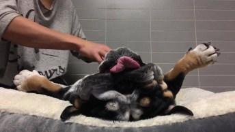 Cachorro Da Raça Bulldog Ganhando Massagem E Até Roncando!