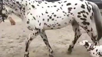 Cachorro Da Raça Dálmata E Seu Amigo Cavalo Que Também Tem Pintas Igual A Ele!