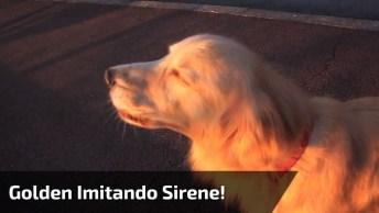 Cachorro Da Raça Golden Retriever Escuta Sirene E Imita Som, Que Fofo!