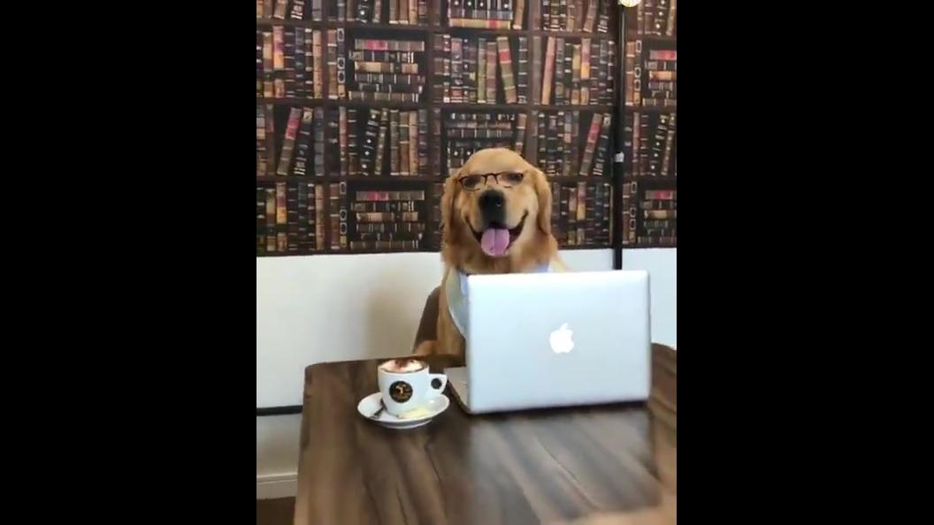 Cachorro da raça Golden Retriever mexendo na internet, com óculos e tudo!