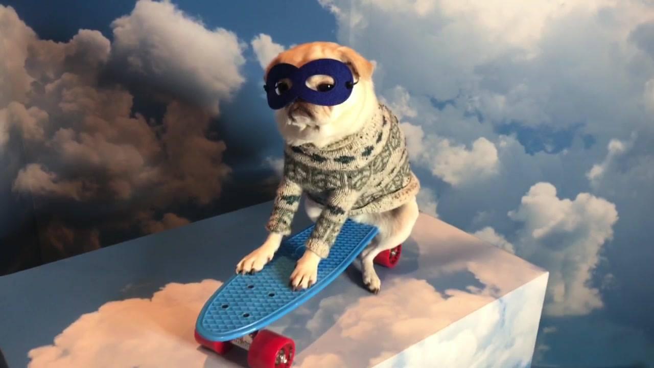 Cachorro da raça Pug preparado para tirar muitas fotos, que fofura!