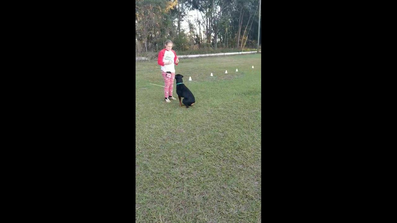 Cachorro da raça Rottweiler sendo treinado, ele é muito inteligente!