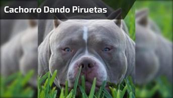 Cachorro Dando Piruetas No Ar, Ele Esta Feliz Com Alguma Notícia!