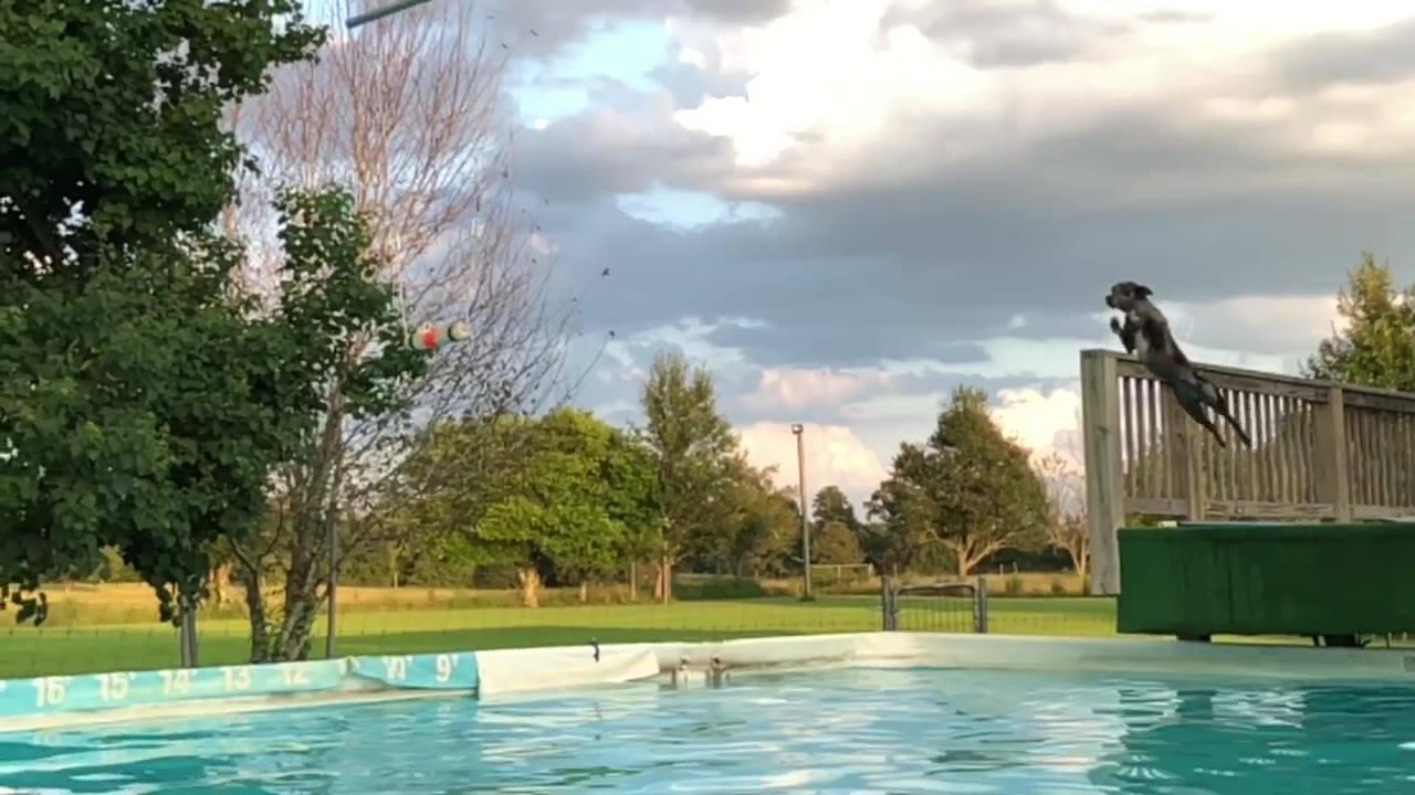 Cachorro dando salto incrível na piscina