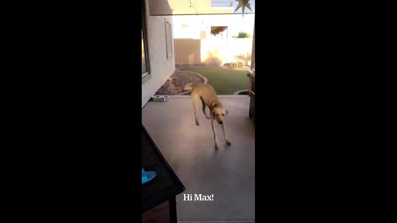 Cachorro dando saltos de alegria ao ver sua dona, olha só a carinha dele!!