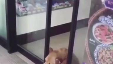 Cachorro Deita Em Porta Automática Que Abre E Fecha E Não Sai Do Lugar, Hahaha!