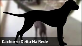 Cachorro Deita Na Rede Sozinho Para Poder Tirar Um Cochilo, Que Inteligente!