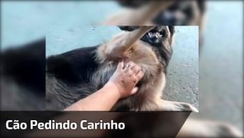Cachorro Deitando De Barriga Para Cima Para Ganhar Carinho!