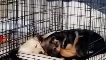 Cachorro Deitando Junto Com Seu Amiguinho Na Mesma Casinha, Que Fofo!