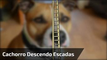 Cachorro Descendo Escadas De Cima Da Casa, Esse Superou As Expectativas Hahaha!