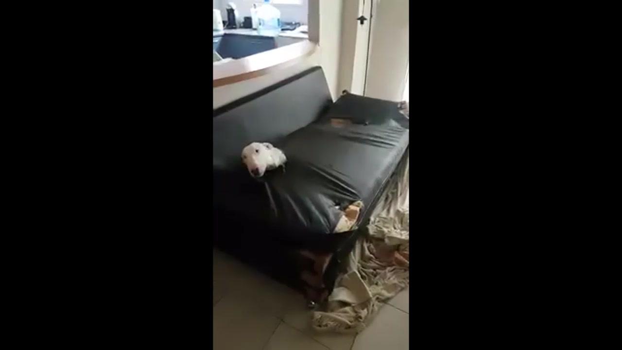 Cachorro destruiu sofá de seu dono