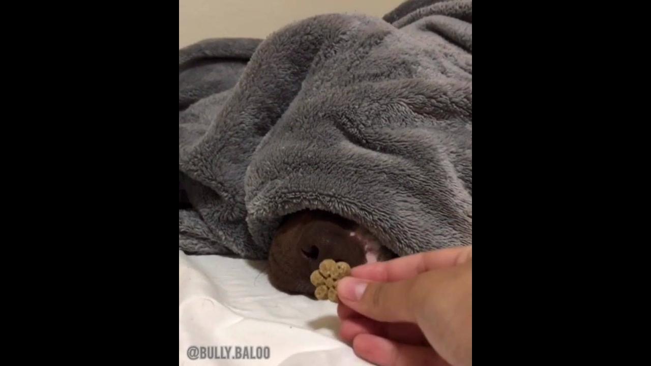 Cachorro dormindo acorda apenas com cheiro de petisco, veja que fofo!!!