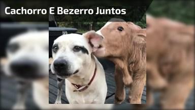 Cachorro E Bezerro Trocando Carinhos, Os Animais Sempre Nos Surpreendendo!