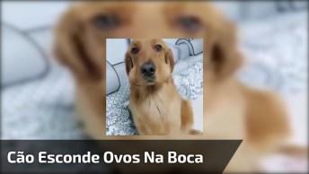 Cachorro É Pego Em Flagrante Escondendo Ovos Na Boca Hahaha!
