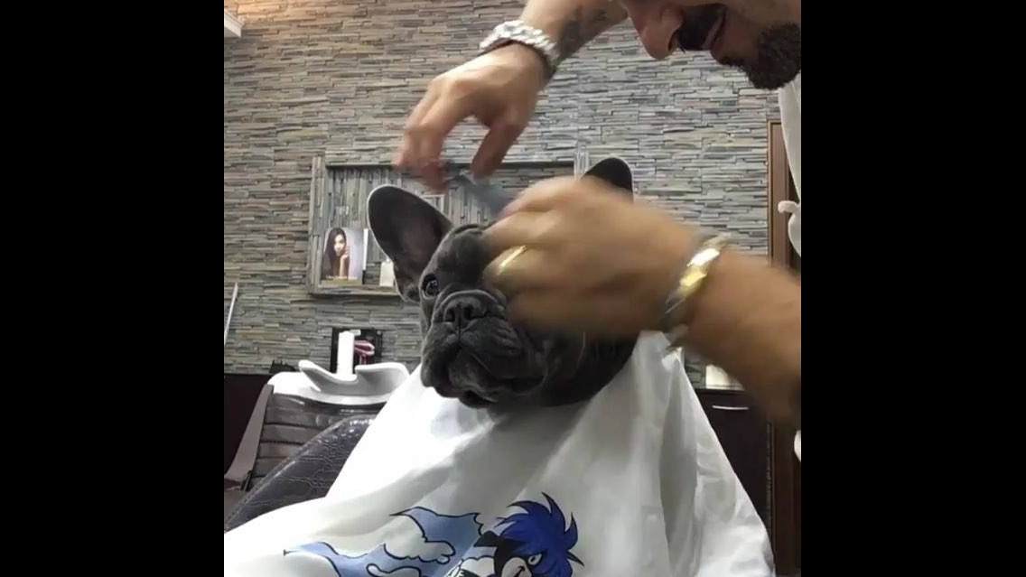 Cachorro em um barbeiro, como ele fica quietinho assim gente