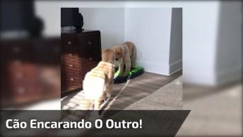 Cachorro Encarando O Outro, O Vídeo Mais Engraçadinho Que Você Verá Hoje!