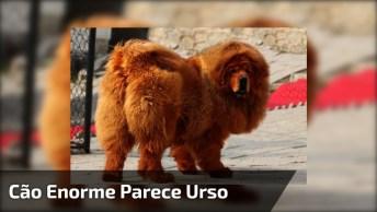 Cachorro Enorme Que Parece Um Urso, Imagina Dar Um Abraço Nele!