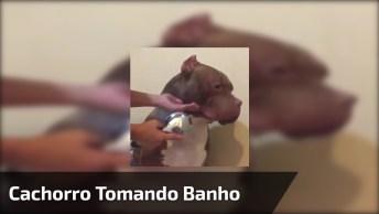 Cachorro Enorme Tomando Banho, Difícil Acreditar Que Ele Fica Calmo!