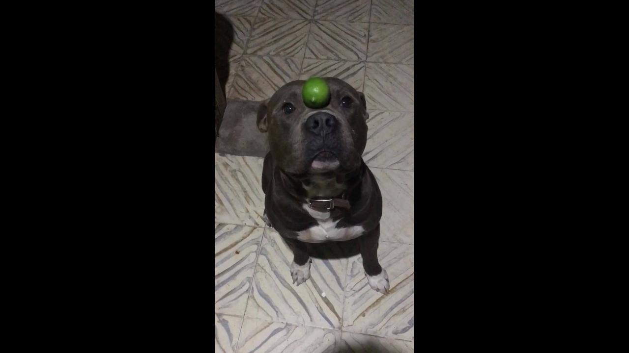 Cachorro equilibrando um limão na cabeça