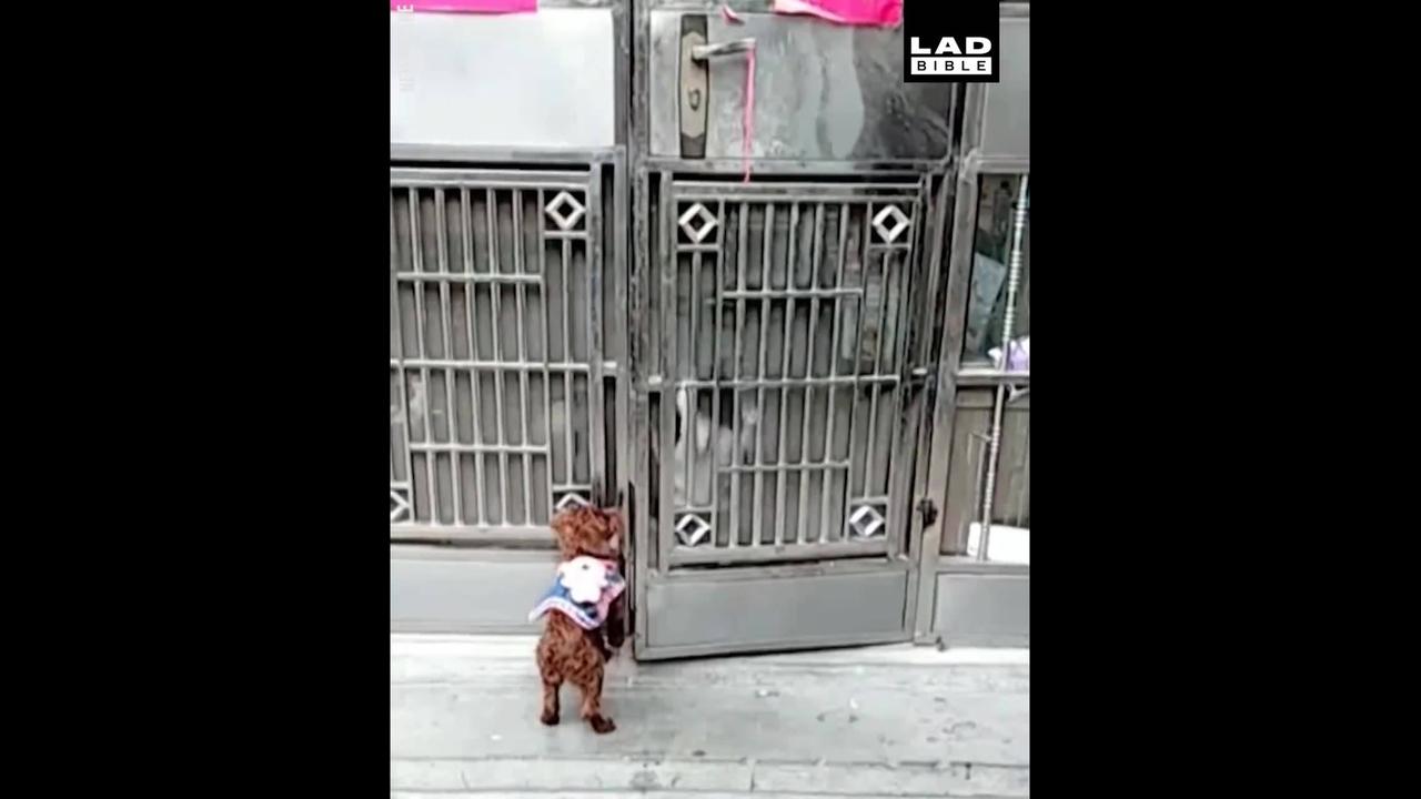 Cachorro escalando portão para entrar dentro de casa