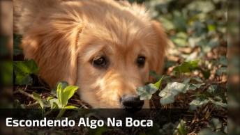 Cachorro Esconde Ovos Na Boca, Olha A Cara De Quem Esta Mentindo Hahaha!