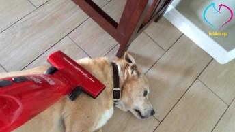 Cachorro Esta Com Tanta Preguiça Que Nem Liga De Ser Aspirado, Hahaha!