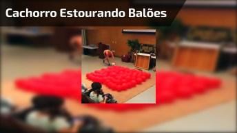 Cachorro Estourando Balões De Festas, Veja A Alegria Dele!