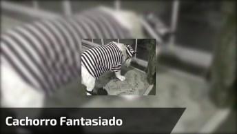 Cachorro Fantasiado De Presidiário, Que Carinha De Quem Não Esta Gostando!