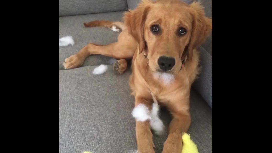 Cachorro faz arte e depois faz cara de dar dó