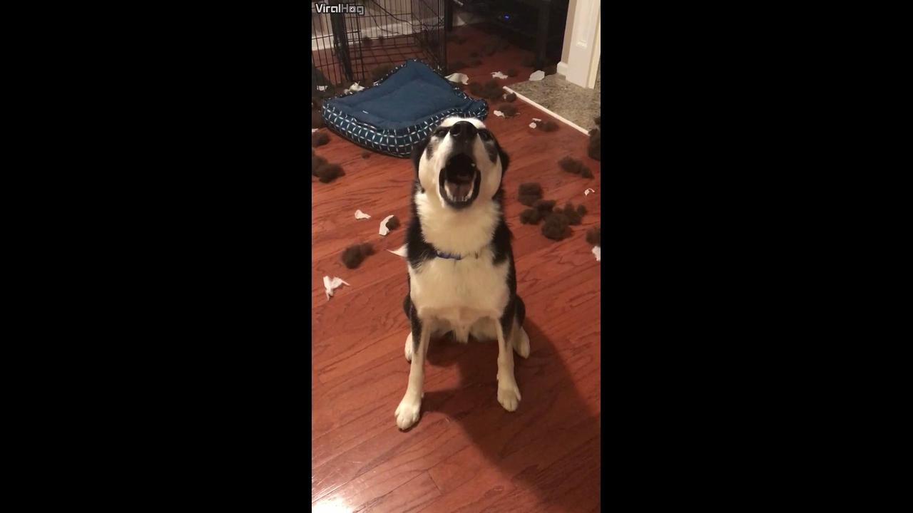 Cachorro faz arte e tenta se explicar para sua dona