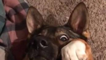 Cachorro Faz Carinha Mais Engraçada Quando Seu Dono Pega Sua Bolinha!