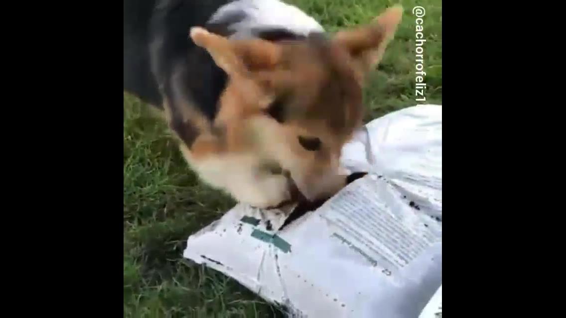 Cachorro fazendo bagunça com saco de terra