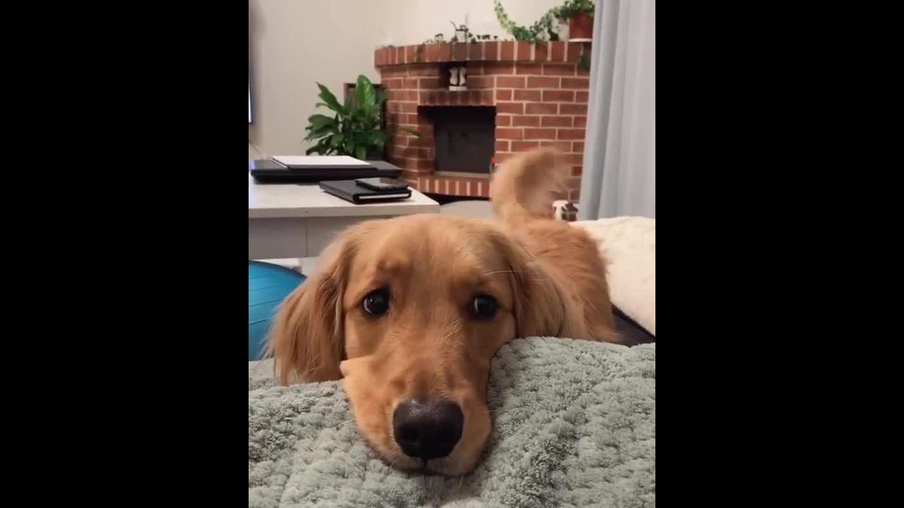 Cachorro fazendo dengo para dona, olha só esta carinha linda!!!