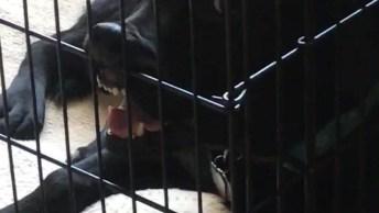 Cachorro Fazendo Rebelião Por Estar Preso Em Uma Gaiola!