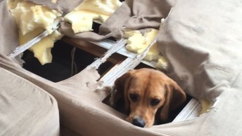 Cachorro Fez Um Buraco No Sofá De Sua Dona, E Ainda Se Esconde!