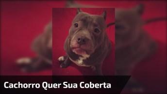 Cachorro Fica Sem A Coberta E Faz O Maior Drama, Confira!