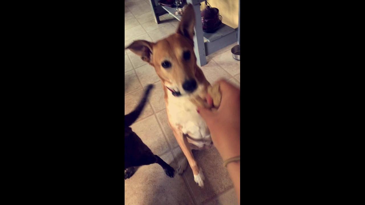 Cachorro fofo pedindo petisco com a patinha