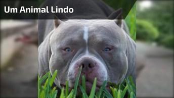 Cachorro Forte E Robusto, Um Animal Muito Lindo, Confira!