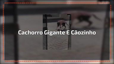 Cachorro Gigante Perto De Cachorro Minúsculo, Uma Fofura De Contraste!