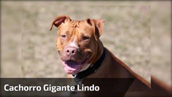 Cachorro Gigantesco, Com Ele Ninguém Brinca. Confira!